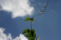Rankpflanze
